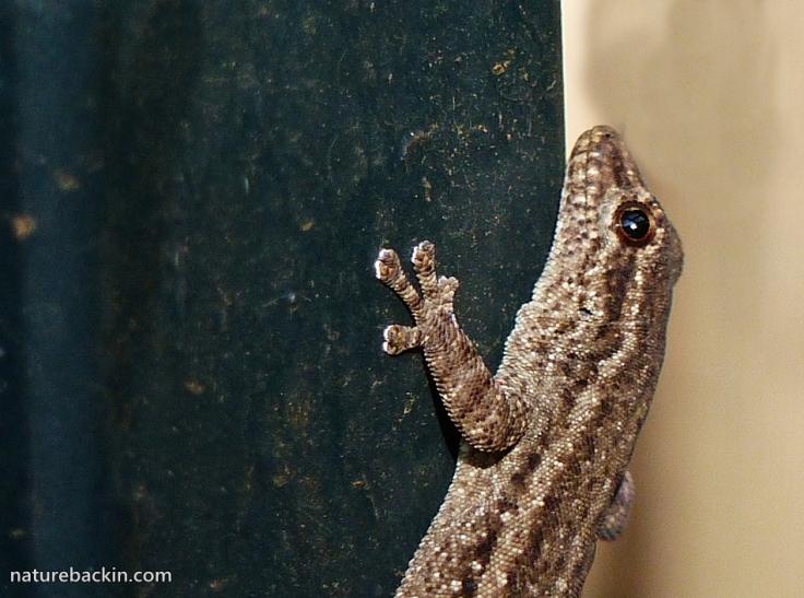 5 Cape-Dwarf-Gecko-2
