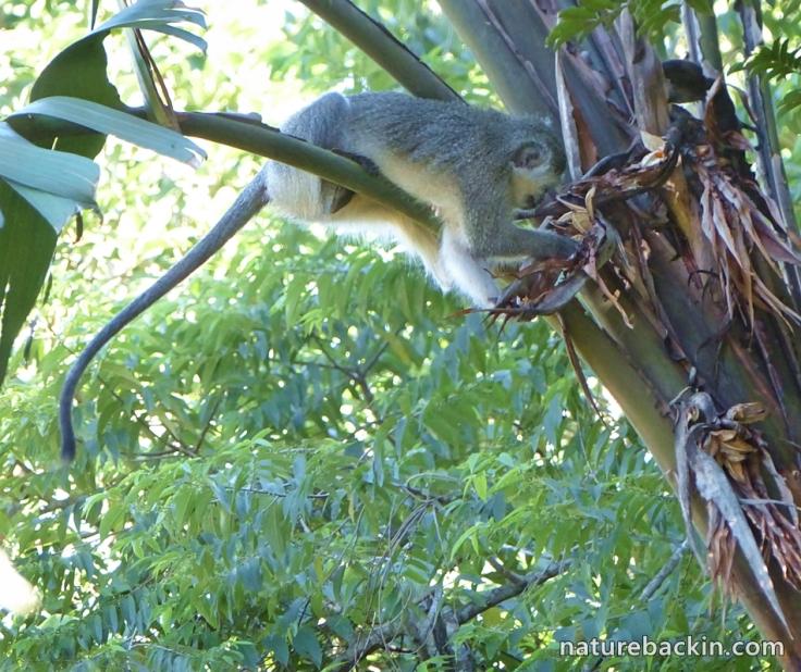 Strelizia nicolai 2 Vervet monkey