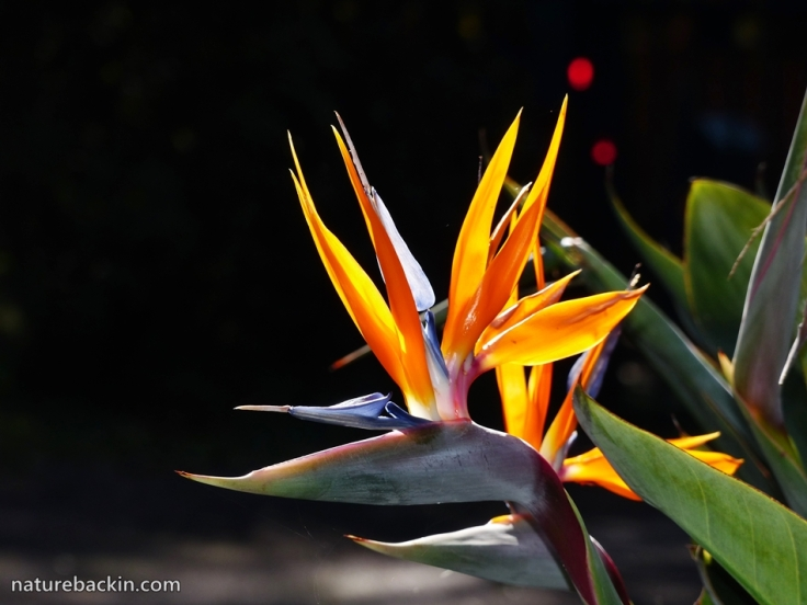 10 Winter Flowering Strelitzia reginae