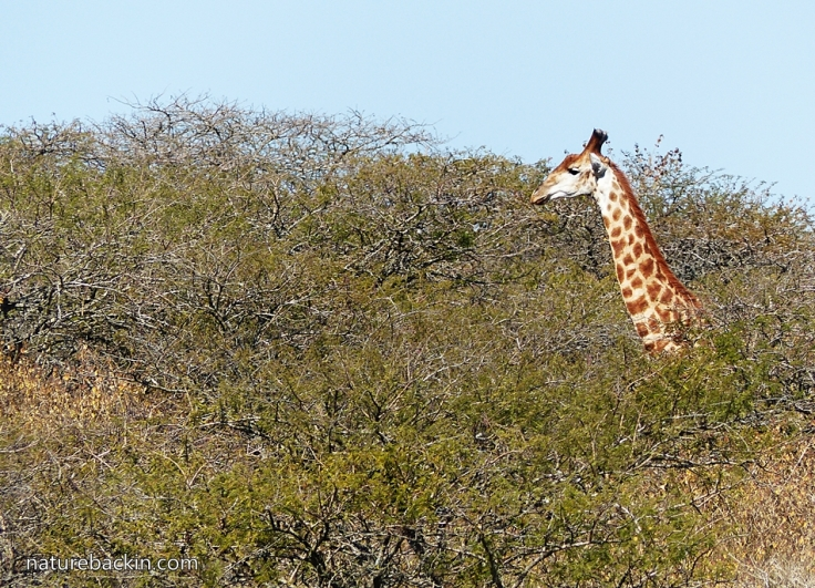 12 Tala Giraffe