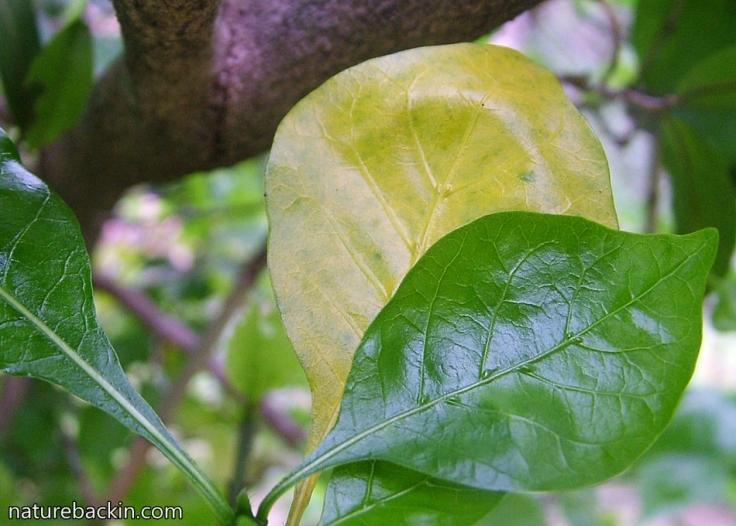 13 WIld magnolia