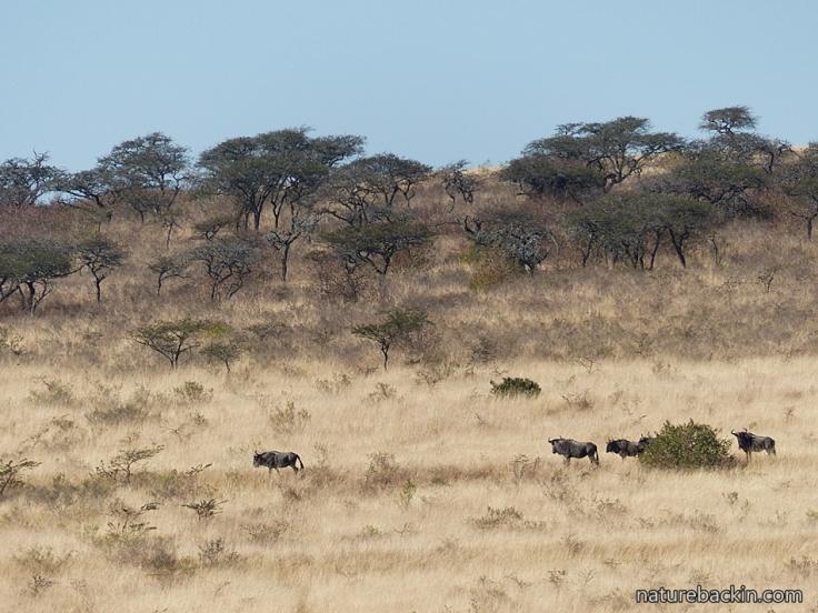 4 Tala Wildebeest