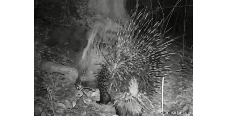 5 Cape porcupine showing quills