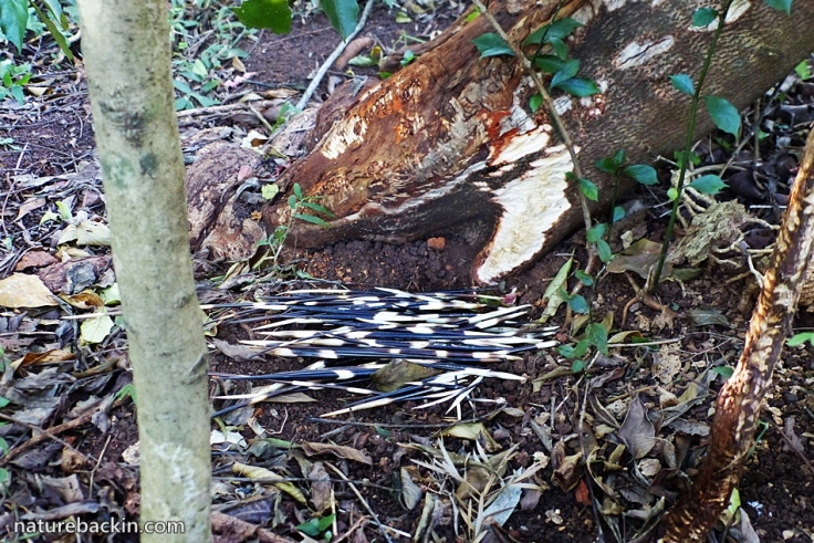 7 Cape porcupine quills