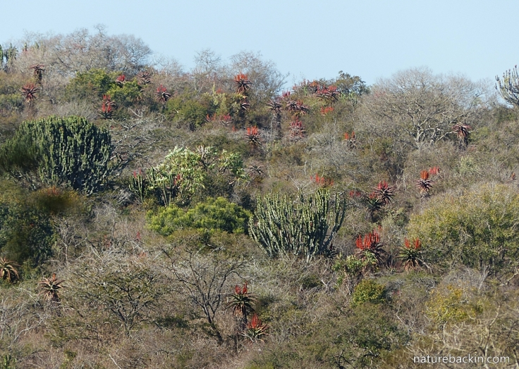 8 Tala aloes in dense bush