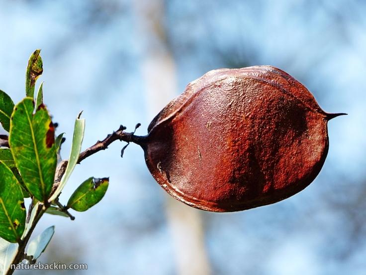 9 Seedpod Dwarf Boer-bean