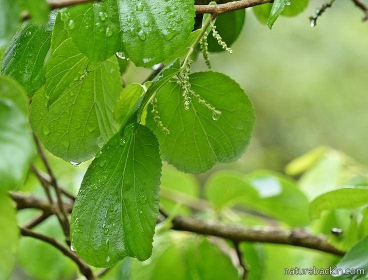 9 Wild mulberry