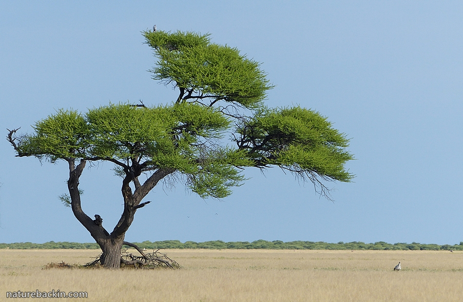 Camel Thorn Tree in the Central Kalahari Game Reserve, Botswana