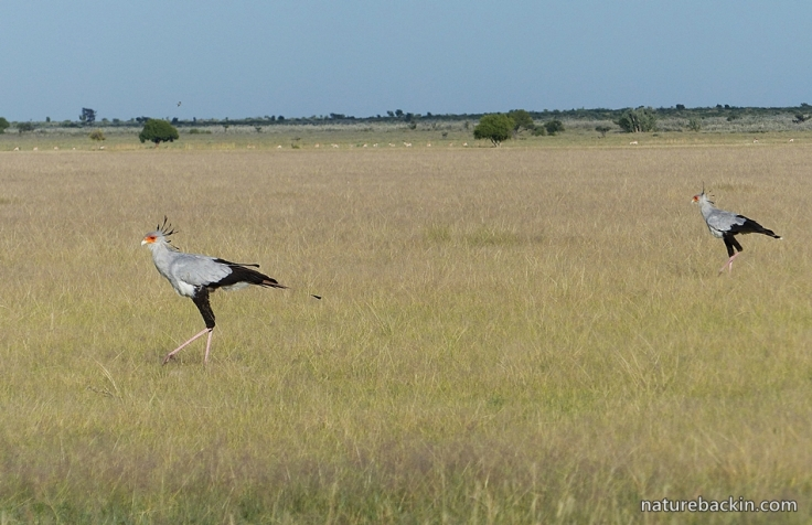 Weekly Photo Find Secretarybirds