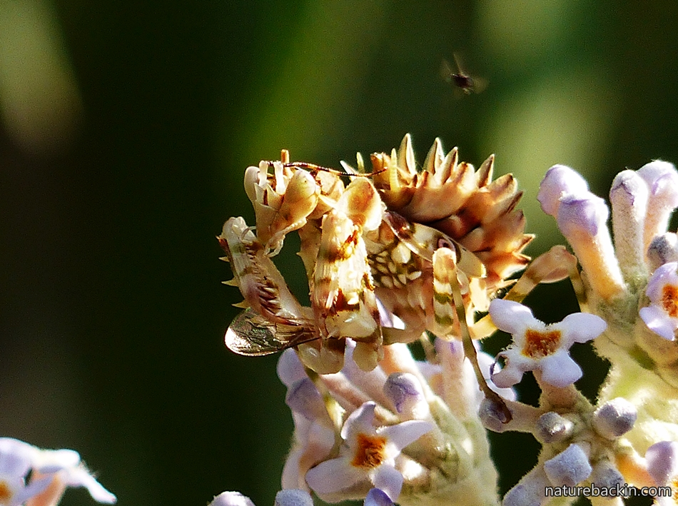 Flower Mantis on a Buddleja salviifolia in a garden in KwaZulu-Natal, South Africa