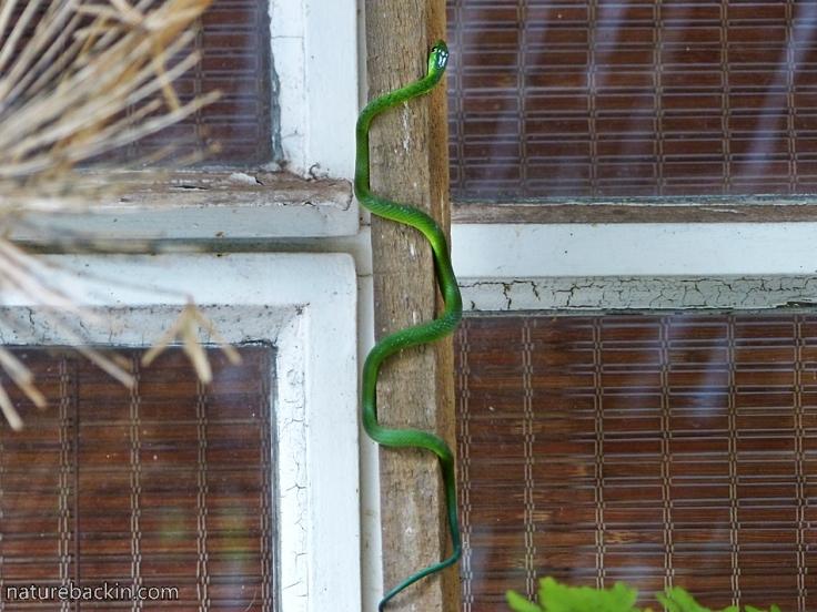 10 Eastern-Green-Snake