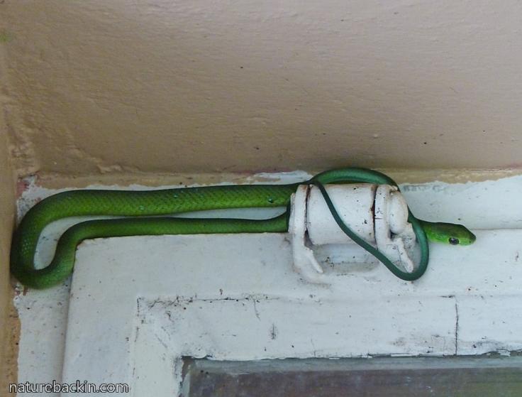 12 Eastern-Green-Snake