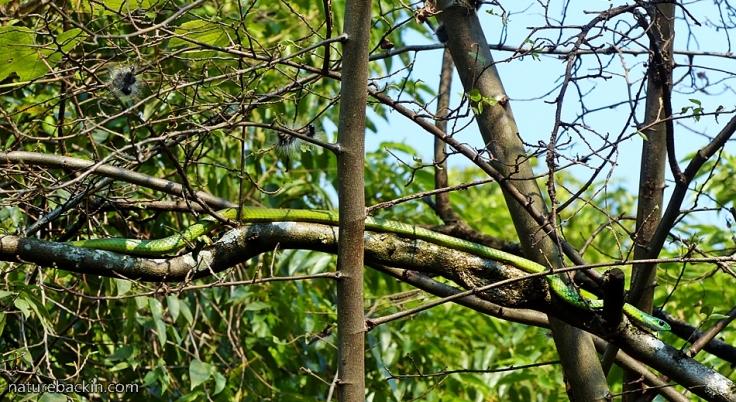 13 Eastern-Green-Snake
