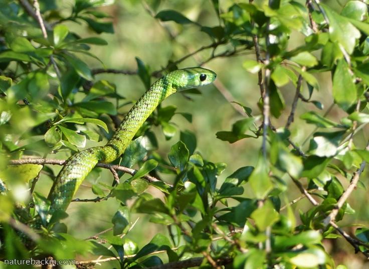 14 Eastern-Green-Snake