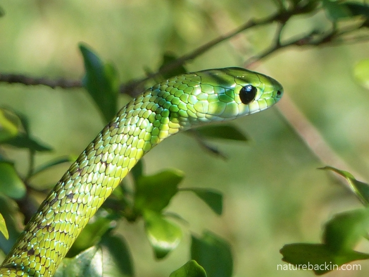 15 Eastern-Green-Snake