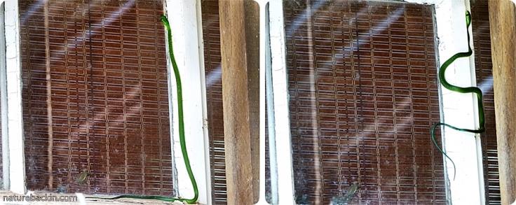2 Eastern-Green-Snake
