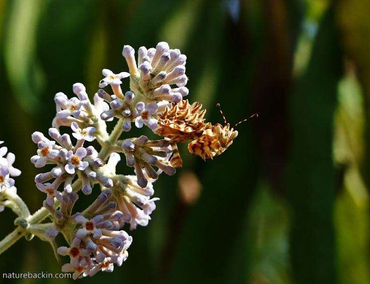 2 Flower Mantis