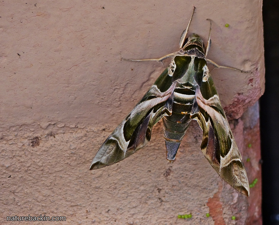 Oleander Hawk Moth or Green Army Moth on a wall in a suburban garden in KwaZulu-Natal