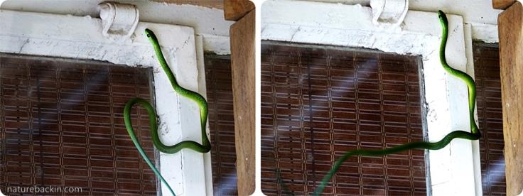 3 Eastern-Green-Snake