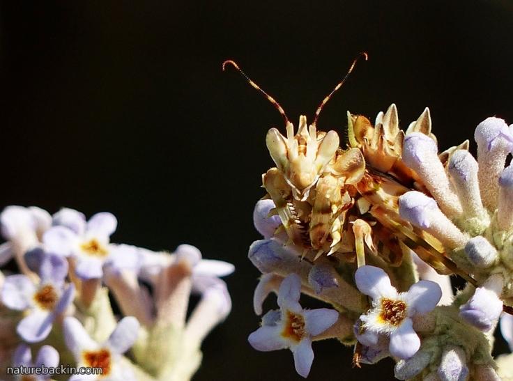 3 Flower Mantis