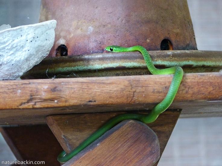 4 Eastern-Green-Snake