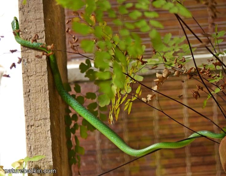 7 Eastern-Green-Snake