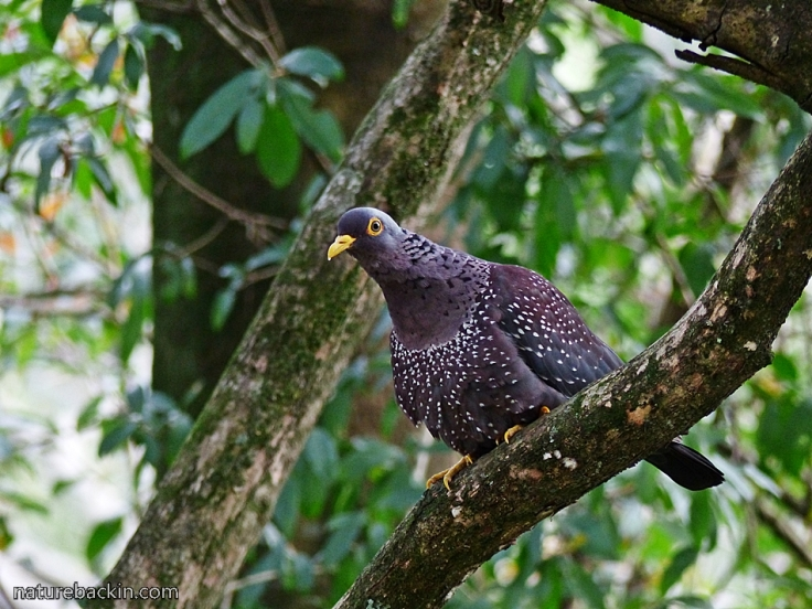 8 African-Olive-Pigeon