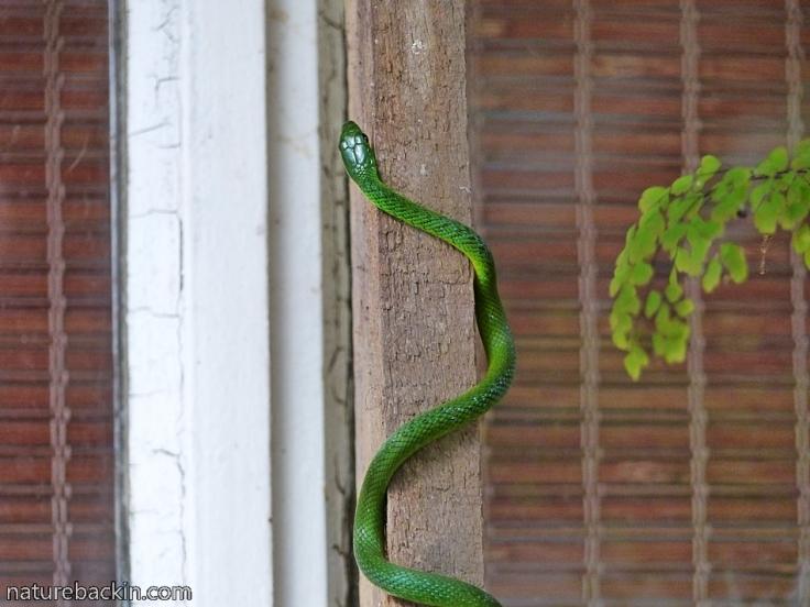9 Eastern-Green-Snake
