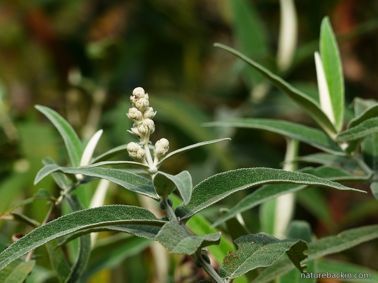 Buddleja salviifolia 2
