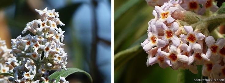 Buddleja salviifolia 3