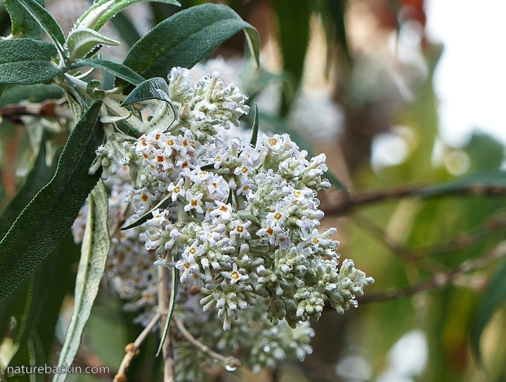 Buddleja salviifolia 4