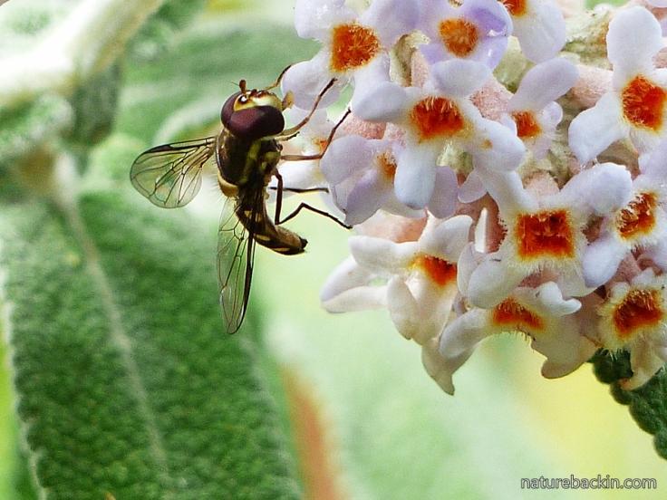 Buddleja salviifolia 5 hoverfly