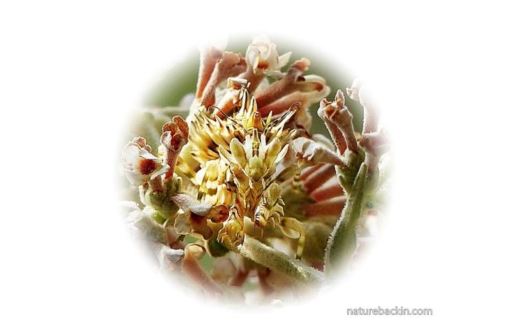 Buddleja salviifolia 8 Flower Mantis