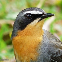 A charming visitor: The Cape Robin-Chat