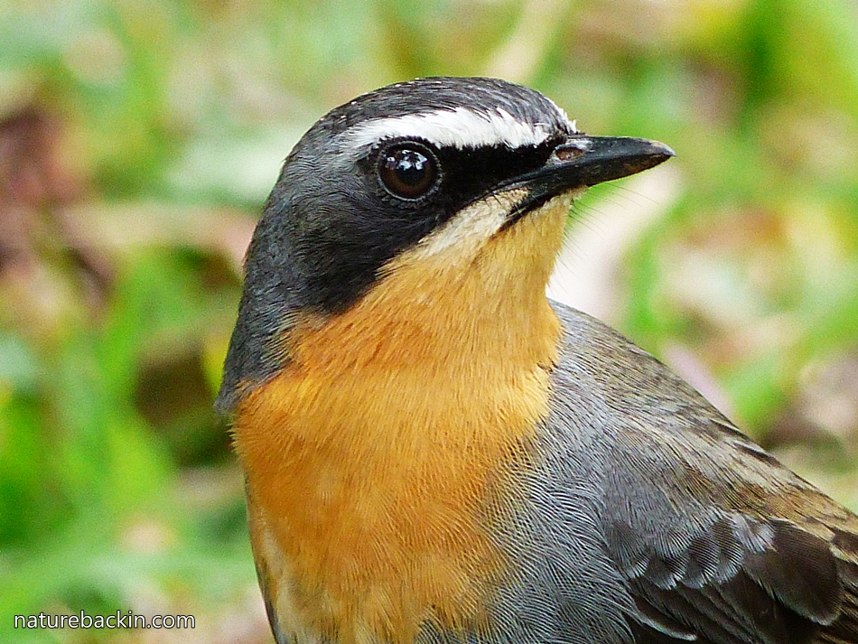 Portrait of Cape Robin-Chat, South Africa