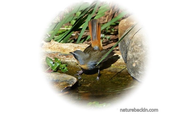 Cape-Robin-Chat 10