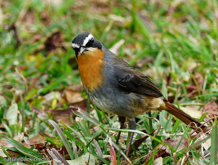 Cape-Robin-Chat 2