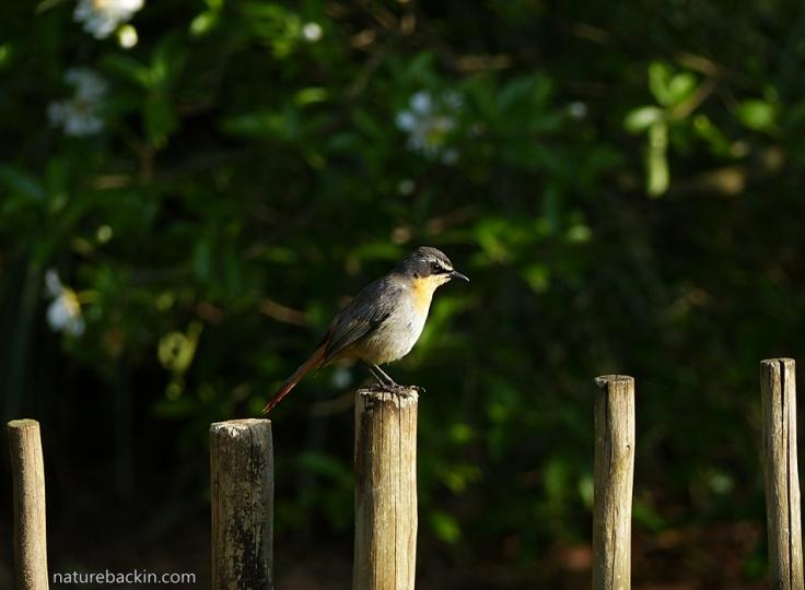 Cape-Robin-Chat 3