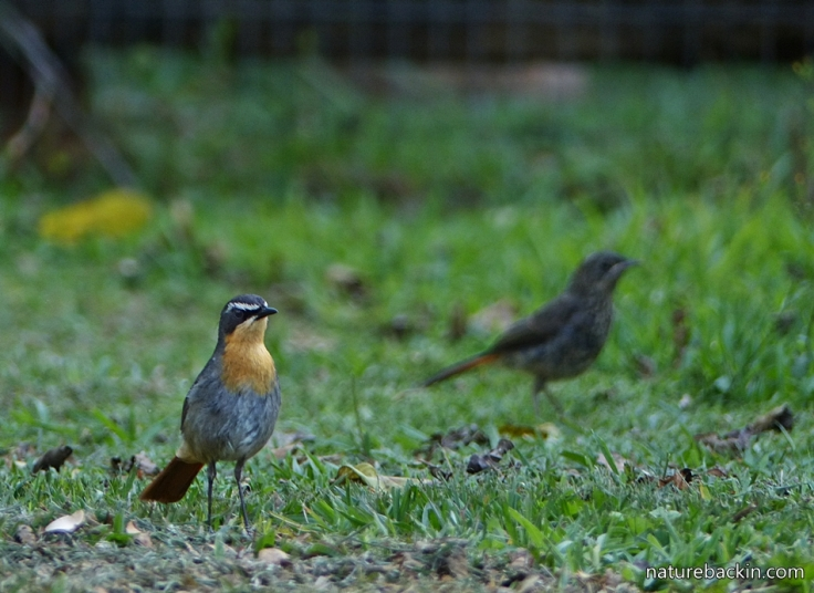 Cape-Robin-Chat 5