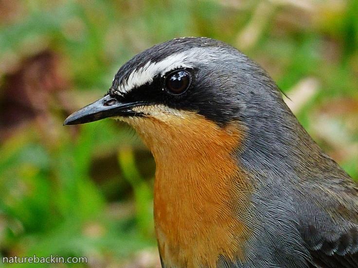 Cape-Robin-Chat 9