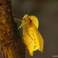 The grasshopper that shrieks in the night