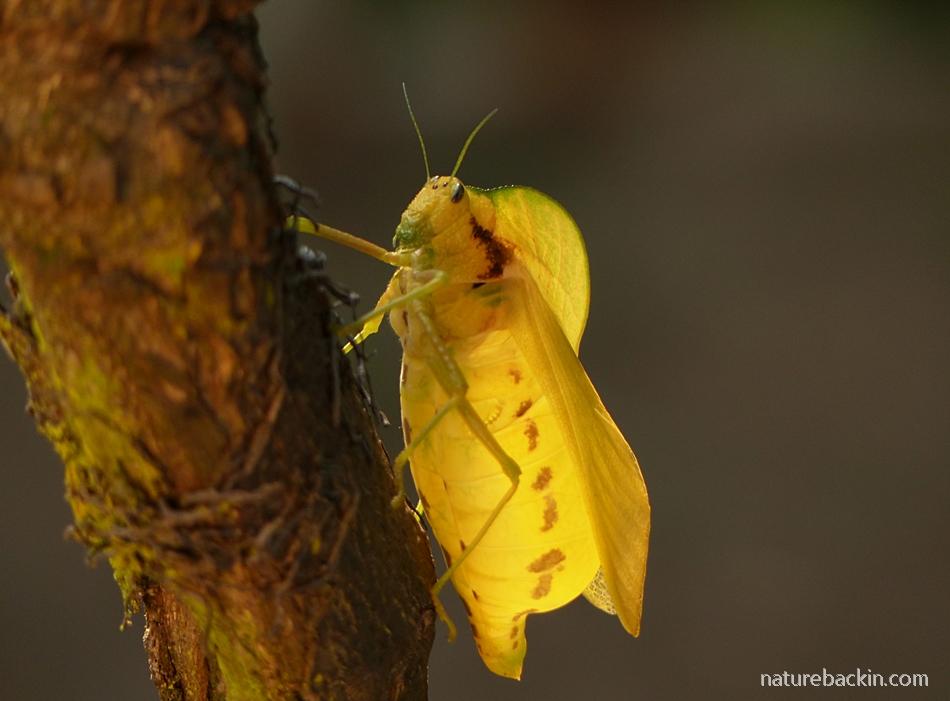 Bladder Grasshopper (Bullacris membracioides) in KwaZulu-Natal.