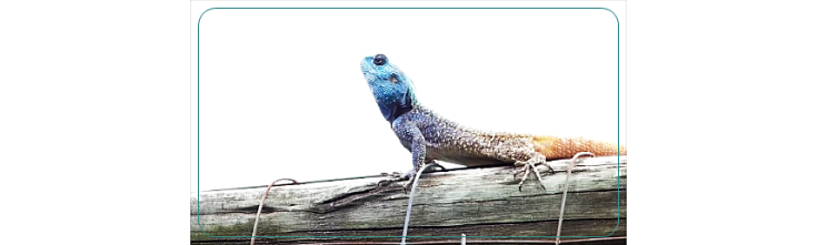 18 Southern Tree Agamas rival males