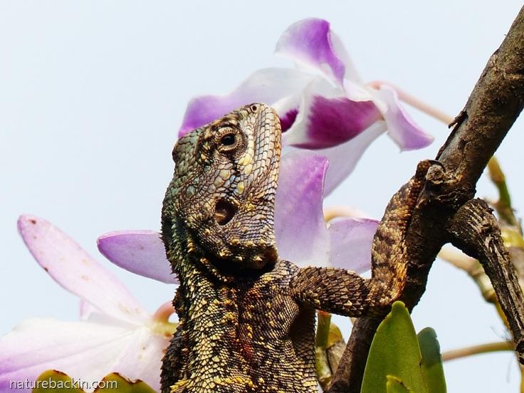 2 Southern Tree Agama female