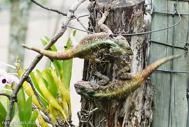 4 Southern Tree Agamas rival males