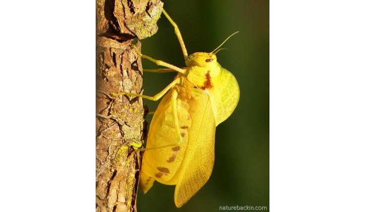 Bladder Grasshopper (Bullacris membracioides) in a garden in KwaZulu-Natal, South Africa