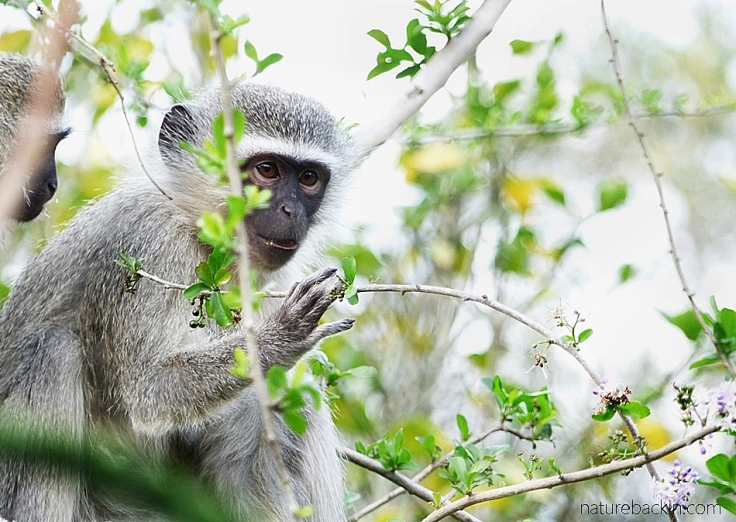 5 Puzzle-Bush-Vervet-Monkey