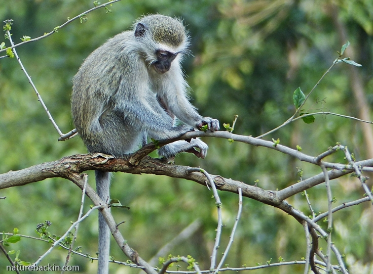 6 Puzzle-Bush-Vervet-Monkey