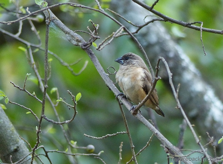 Buff-coloured juvenile Redbacked Mannikin