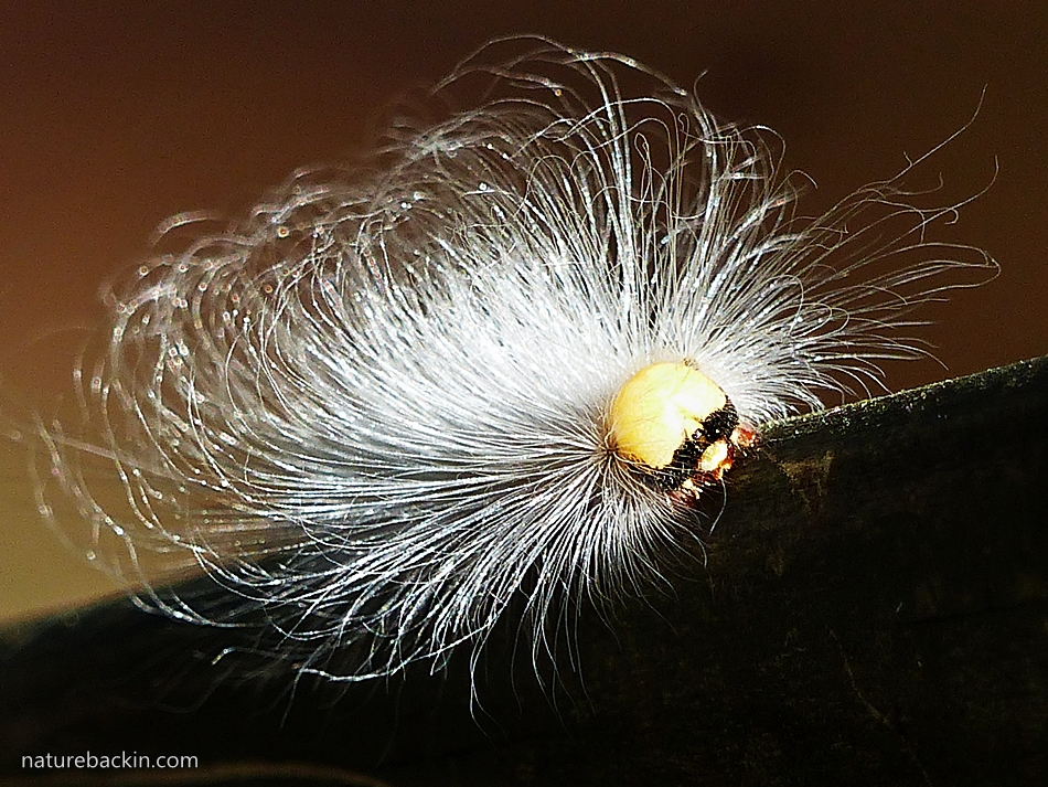 Long-haired caterpillar